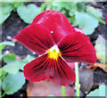 SP9211 : A blood red pansy at the entrance to the Memorial Gardens by Chris Reynolds