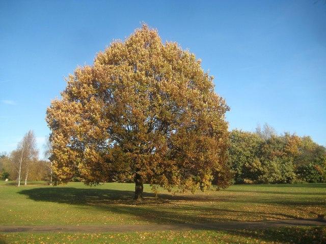 Canons Park: Specimen oak tree