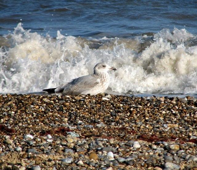 Herring gull on North Denes beach