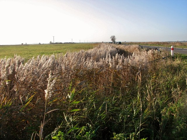 Reeds growing in a ditch beside the Acle Straight