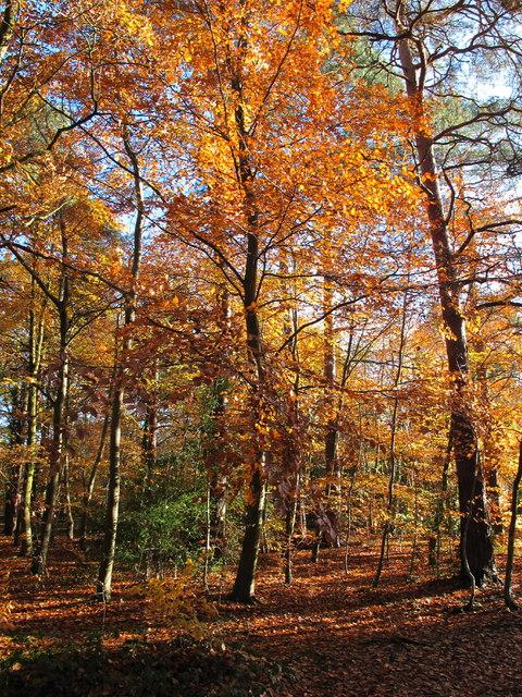Burnham Beeches, autumn leaves by Sir Henry Peek's Drive