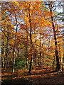 SU9584 : Burnham Beeches, autumn leaves by Sir Henry Peek's Drive by David Hawgood
