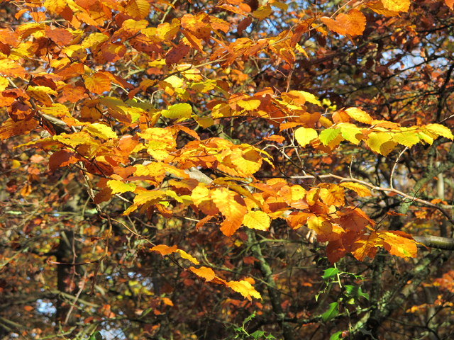 Beech leaves in autumn, Burnham Beeches by Lord Mayor's Drive