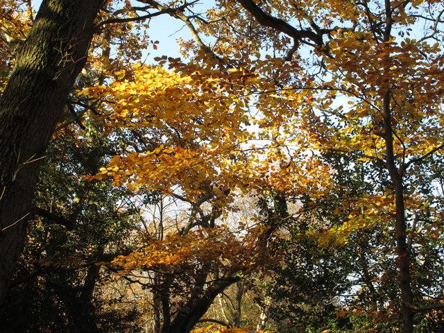 Burnham Beeches, autumn leaves in horizontal clusters