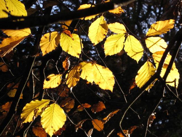 Burnham Beeches, autumn leaves against the light