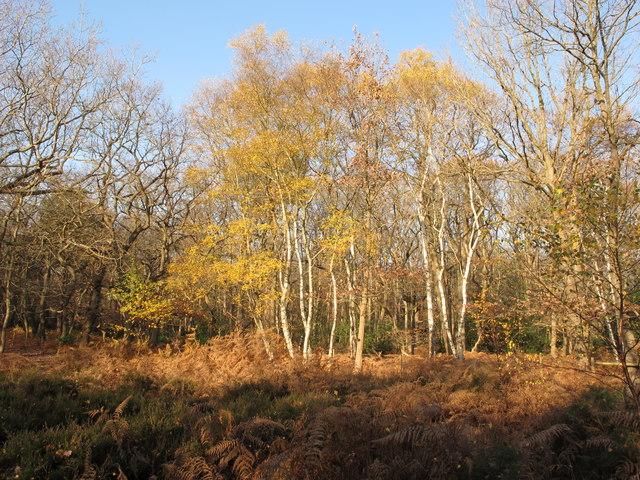 Silver birch trees in autumn, Burnham Beeches