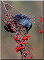 NT4936 : A jackdaw after rowan berries by Walter Baxter