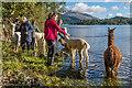 NY2522 : Alpacas by Ian Capper