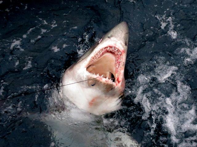 One that didn't get away - a Porbeagle shark