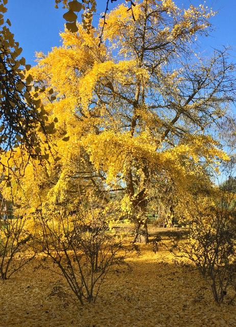 Ginkgo tree, Kew