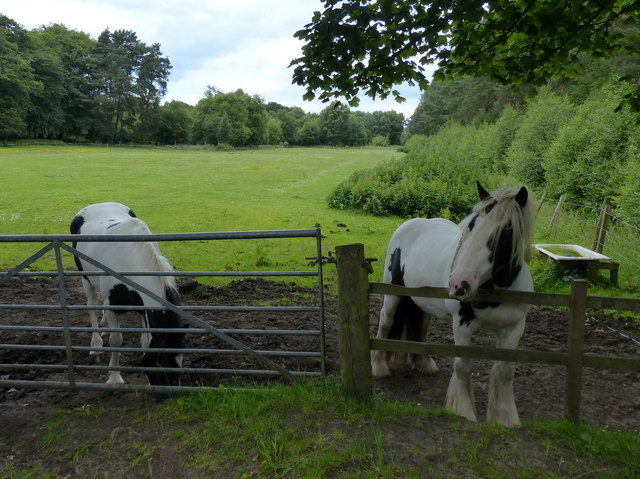 Horses in the Tentsmuir Forest