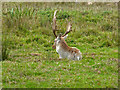 SX9683 : Stag at rest by Chris Allen