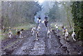 ST7982 : Beaufort Hunt, The Verge Wood, Badminton, Gloucestershire 1988 by Ray Bird