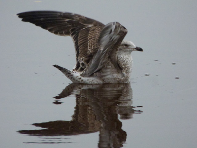 Gull on the Clyde in Glasgow