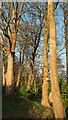 SX9065 : Trees near Summerfield Road by Derek Harper