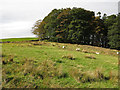 NY8638 : Rough pasture and Ullsfield Plantation by Mike Quinn