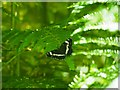 TL9493 : White Admiral by David Pashley