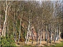 NT3294 : Winter trees beside the Fife Coastal Path by Graham Hogg
