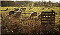 SE3357 : Sheep in the rain, Ringway footpath by Derek Harper