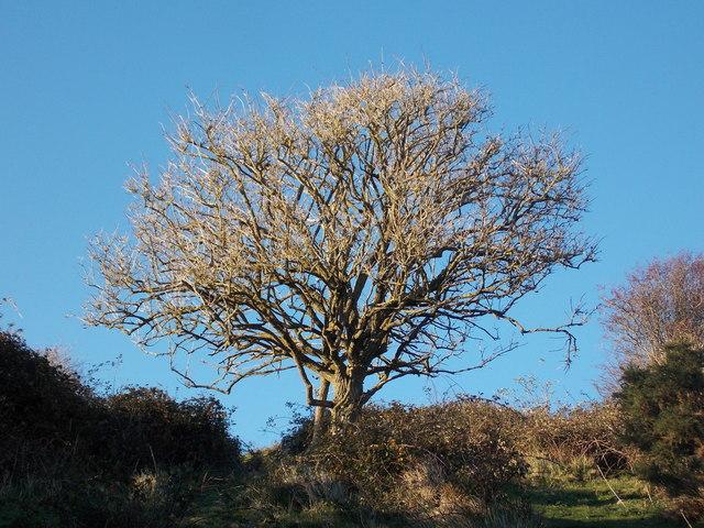 Corfe Castle: a West Hill tree