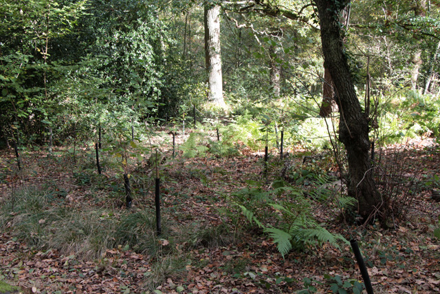 New planting in Swithland Wood