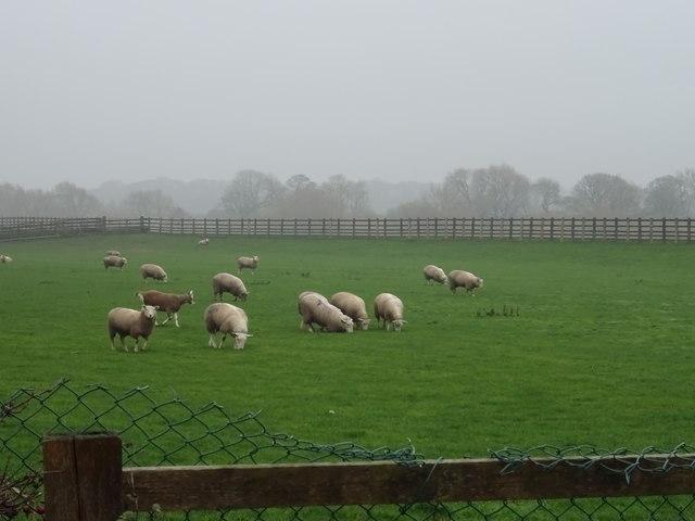 Sheep grazing near Wharfedale Garden Farm