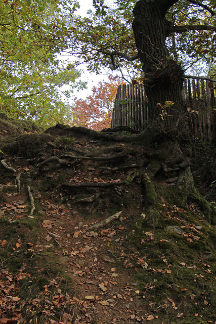 Exposed tree roots in Swithland Wood