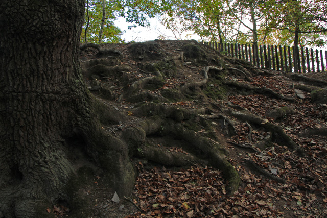 Old tree in Swithland Wood