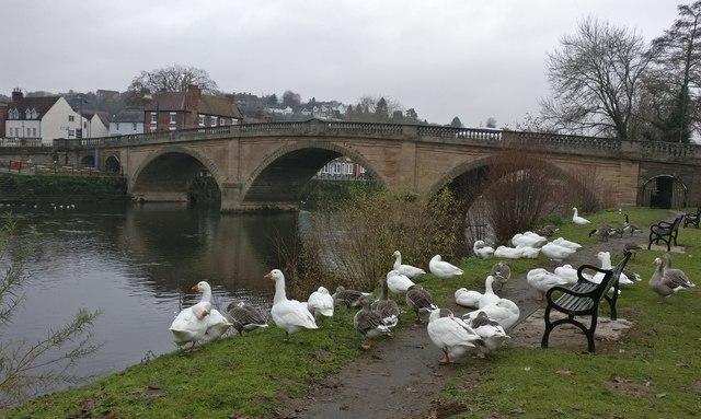 Geese next to Bewdley Bridge