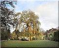 SU9583 : Willow Tree, East Burnham Lane by Des Blenkinsopp