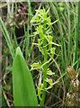 TG3723 : Fen Orchid, Sutton Fen by Hugh Venables