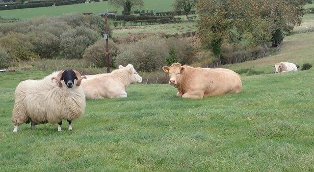 Beware of the Ram! - Livestock at Ballykeel