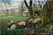H5472 : Sheep, Bracky by Kenneth  Allen