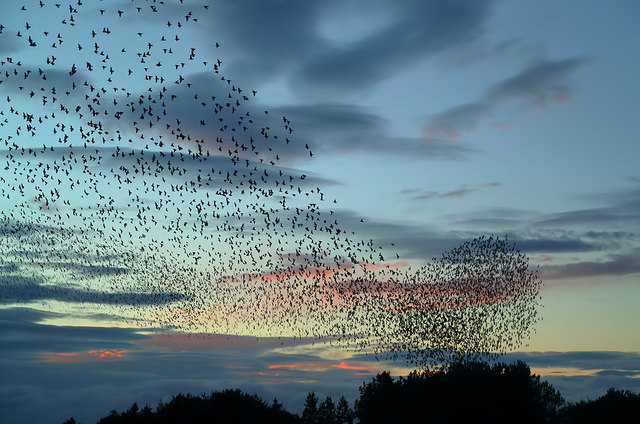 A starling murmuration at Prestwick