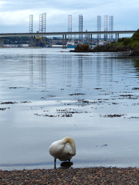 Swan on the shoreline at Newport-on-Tay