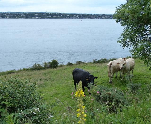 Cattle near Tayport