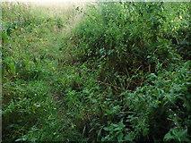 TQ3317 : Wild plants by Fragbarrow Lane, Burgess Hill by David Howard