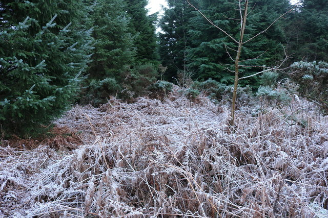Frosty Ferns