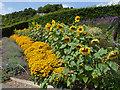 SX0454 : Eden Project - sunflowers by Stephen Craven