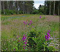 NO4926 : Foxgloves in the Tentsmuir Forest by Mat Fascione