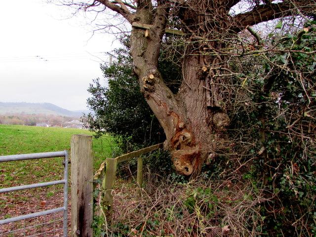 Gnarled tree alongside Bailihelig Road, Llanfaes, Brecon
