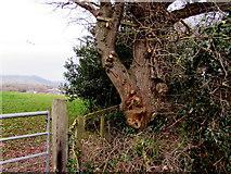 SO0327 : Gnarled tree alongside Bailihelig Road, Llanfaes, Brecon by Jaggery