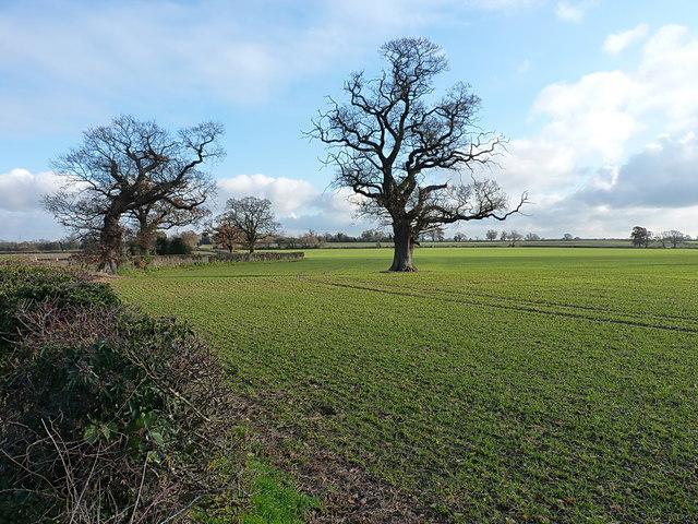 Oaks in the field south of Fen End Road