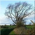 SE5427 : Windblown tree by Alan Murray-Rust