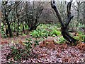 TQ7818 : Secondary woodland in winter, Sedlescombe by Patrick Roper