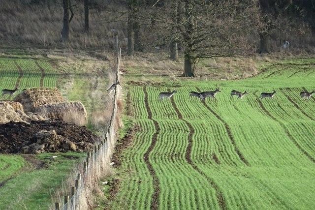 Fallow deer jumping a fence
