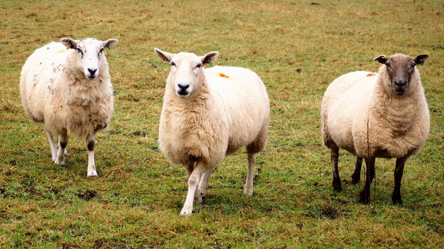 We three ewes