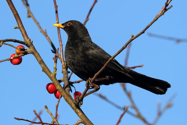 A male blackbird at Legerwood
