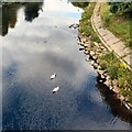 SJ8399 : Swans in the Irwell by Gerald England