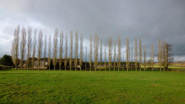 Row of poplars at Hendre farm, 1